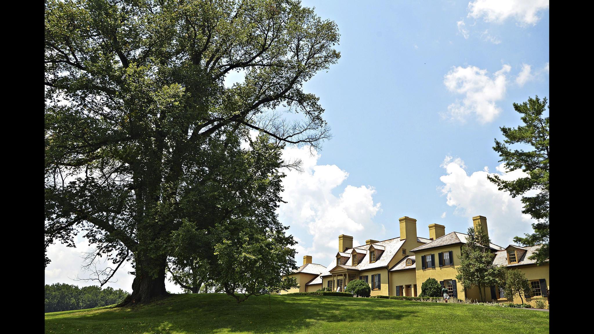 Belmont S Centuries Old Elm Will Be Cut Down Next Week