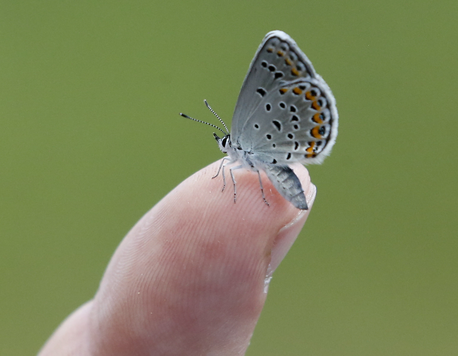 Endangered Butterfly Recovering In Some Not All Of Range