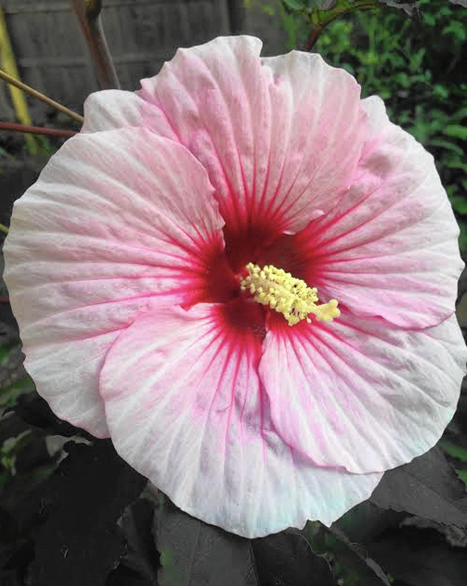 Hardy Hibiscus Adds Tropical Beauty To Chicago Area Gardens