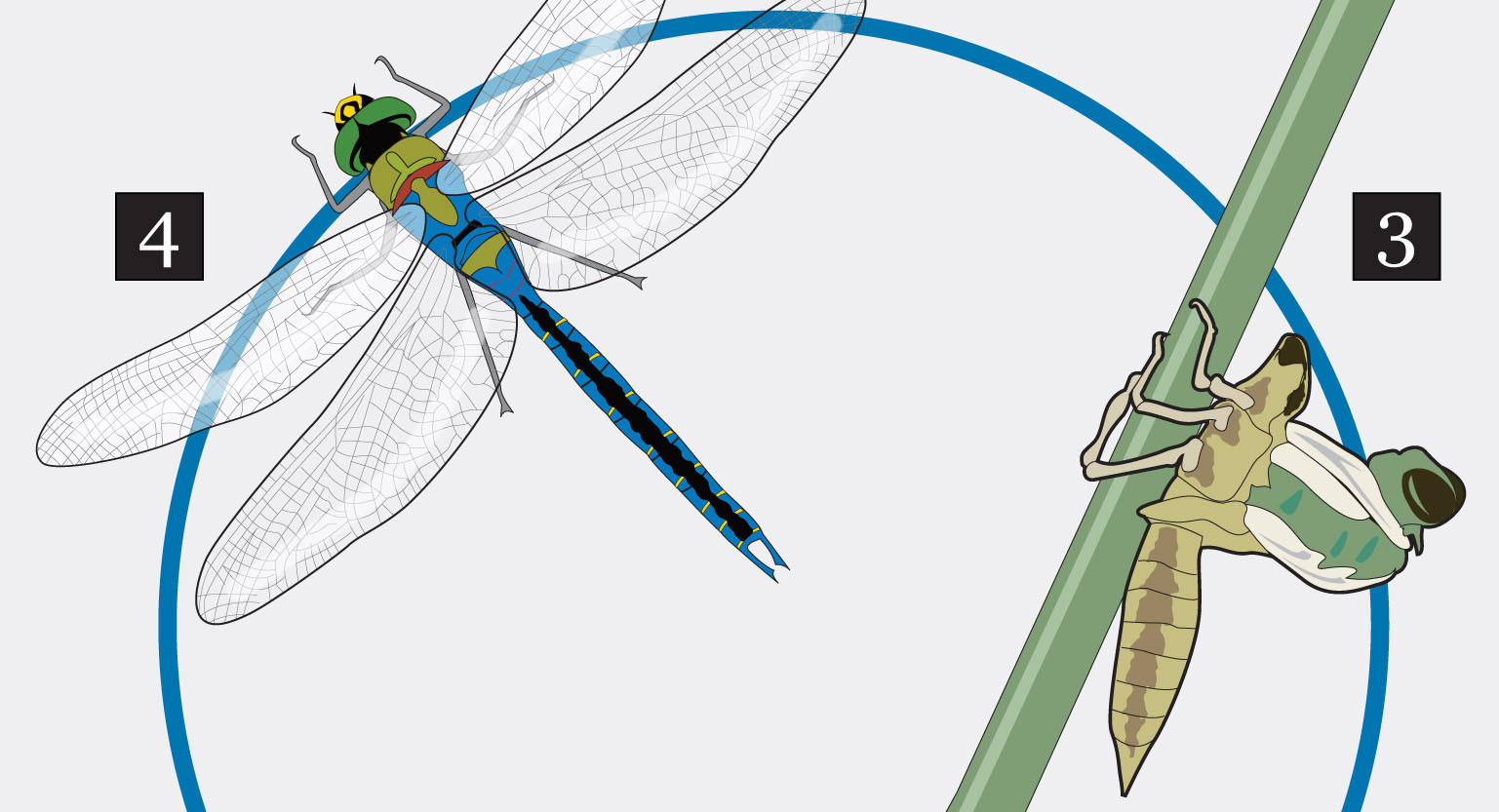 dragonfly facts graphic - Chicago Tribune