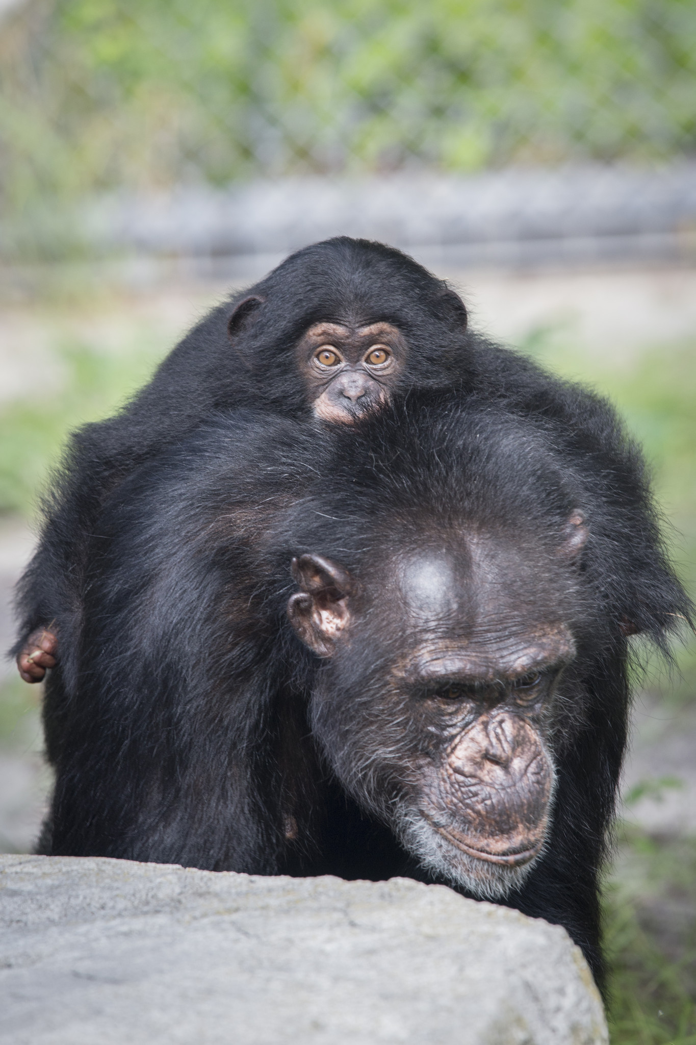 Baby chimp from Baltimore meets surrogate chimp mom - Baltimore Sun