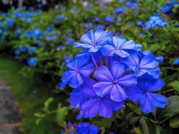 Blue Hosta Landscaping