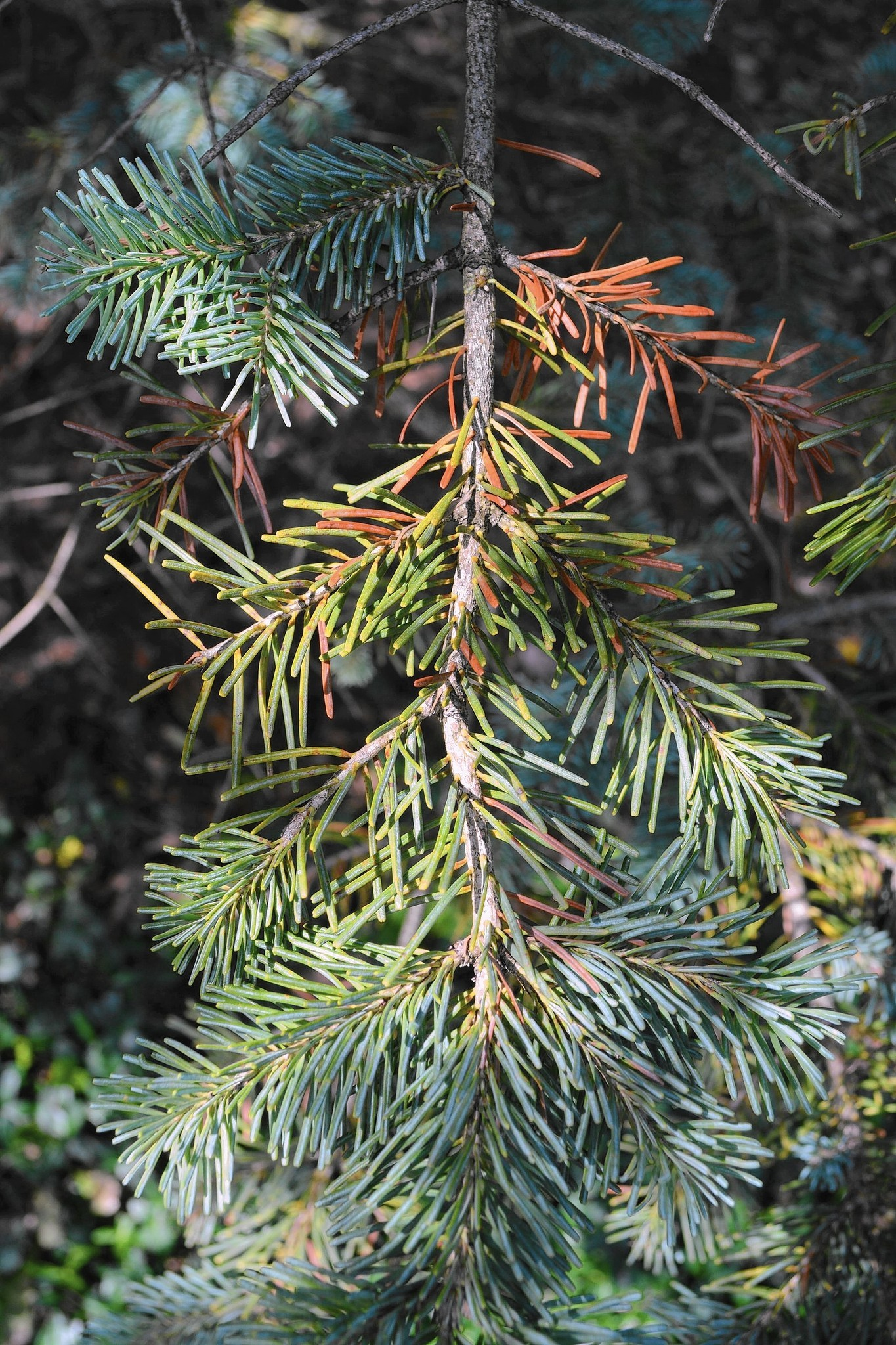 Don T Fret When Evergreen Trees Shrubs Drop Their Needles Chicago Tribune