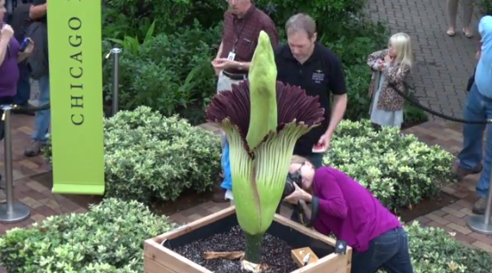 Measuring Just How Bad Corpse Flower Alice Smells