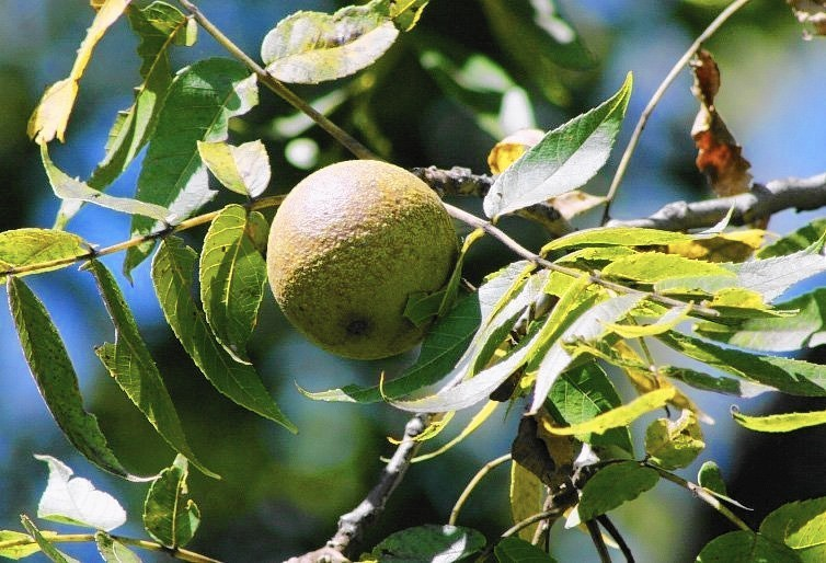 Black Walnut Trees Are Majestic But Be Careful What You Plant Near One Chicago Tribune