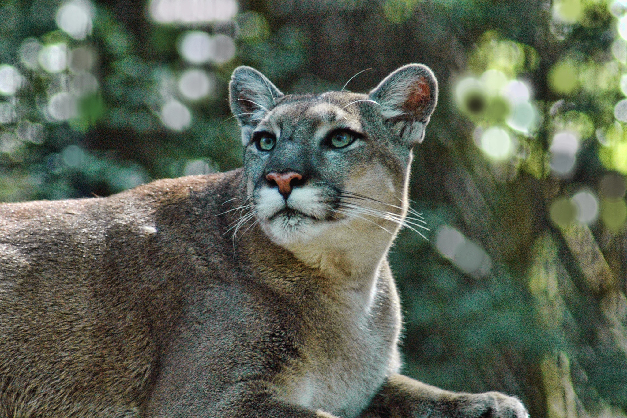 270abae4455 Florida panther still needs protection · Endangered Species