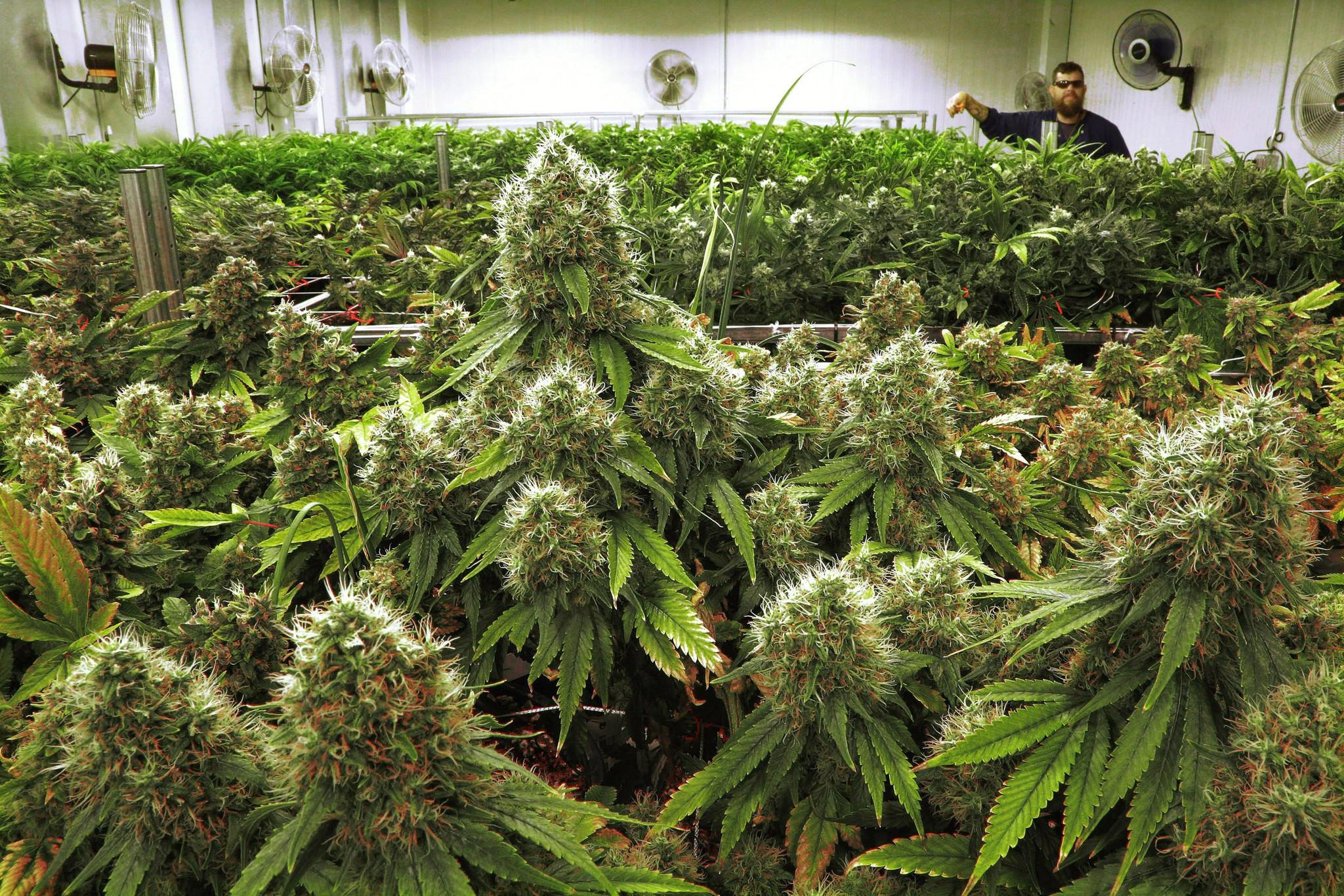 Tribune Reports Medical Marijuana Comes To Illinois