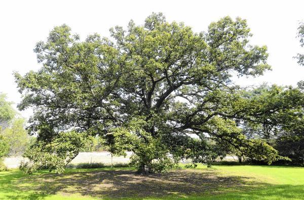 Oaktober Recognizes Value Majesty Of Oak Trees