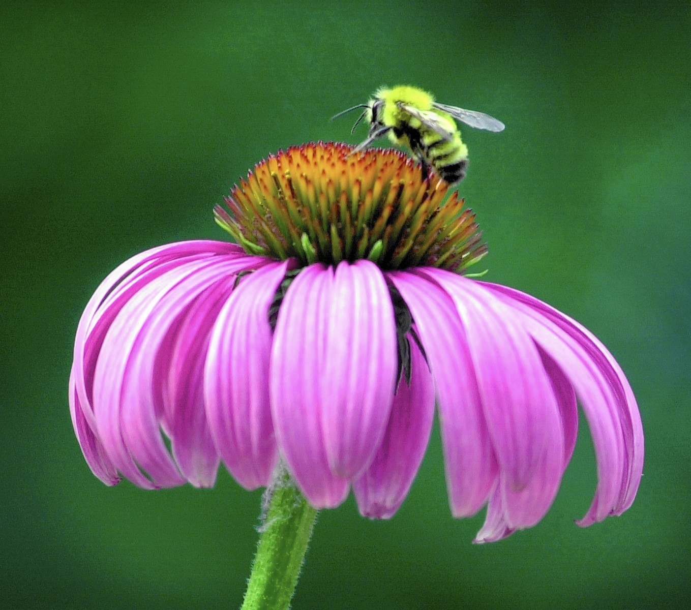 Help For Gardeners What Is Hening To Deform My Coneflowers The Morning Call
