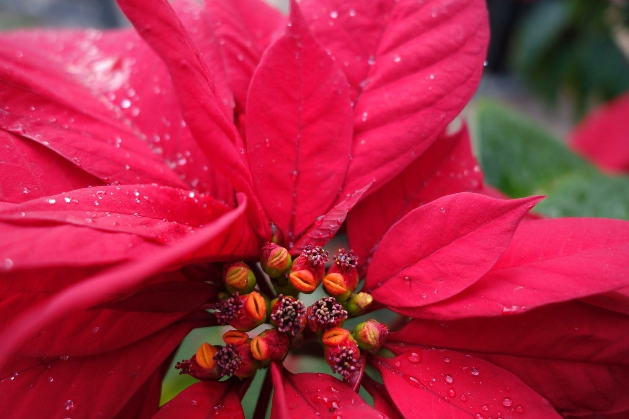 Poinsettia Pointers Tlc Tips For Keeping Plant Vibrant Through