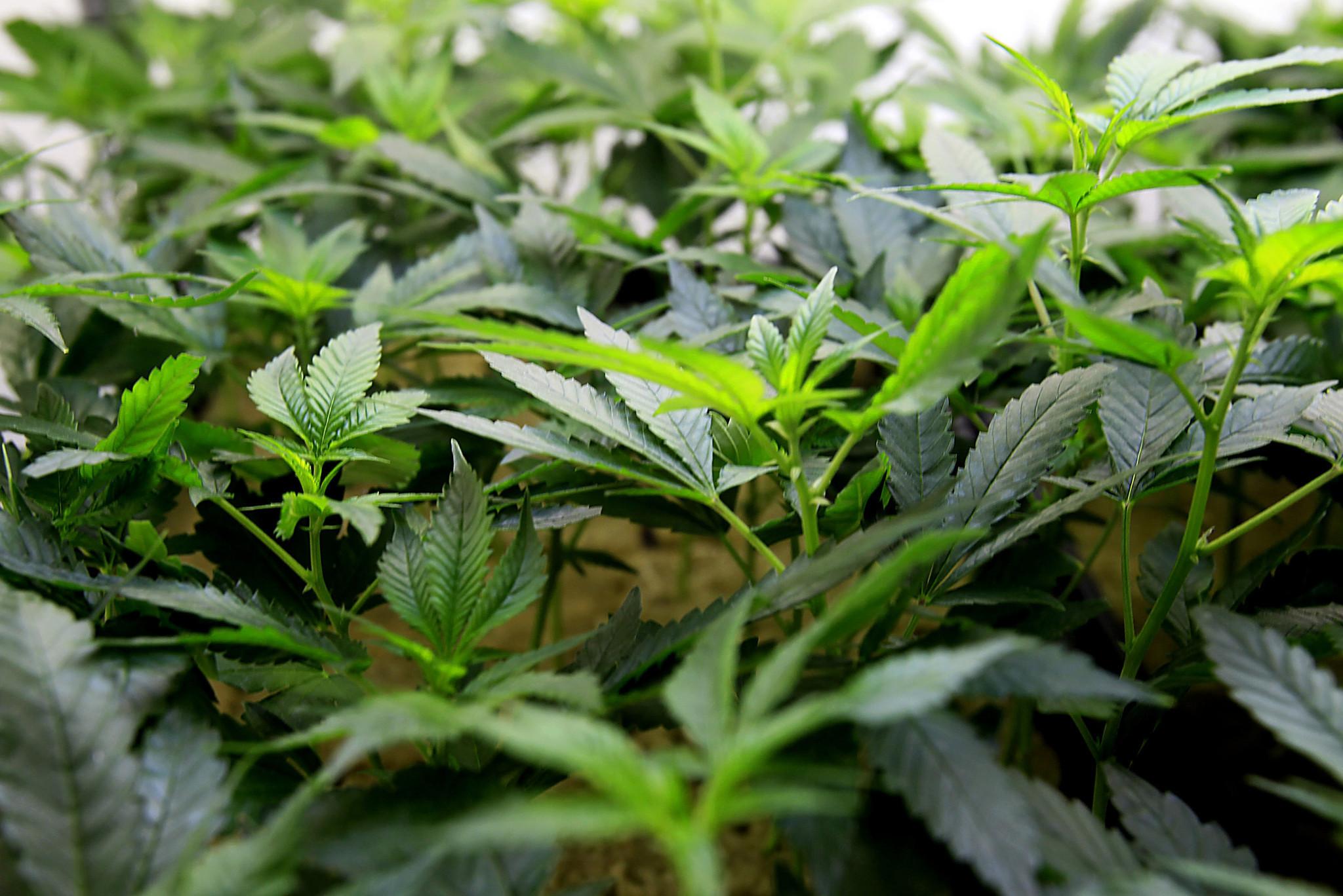 La Ca 241 Ada Flintridge Bans Sales Cultivation And Delivery