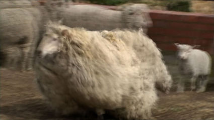 Sheep Found After Six Years Gets A Trim - Chicago Tribune