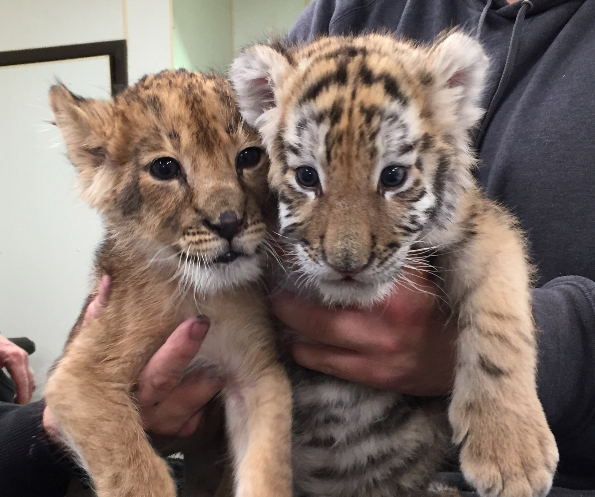 Baby tiger and lion being raised together at Six Flags - The Morning Call