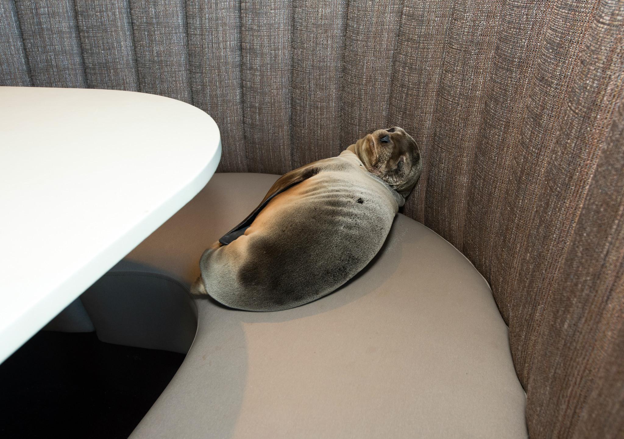 Sea Lion In La Jolla Restaurant