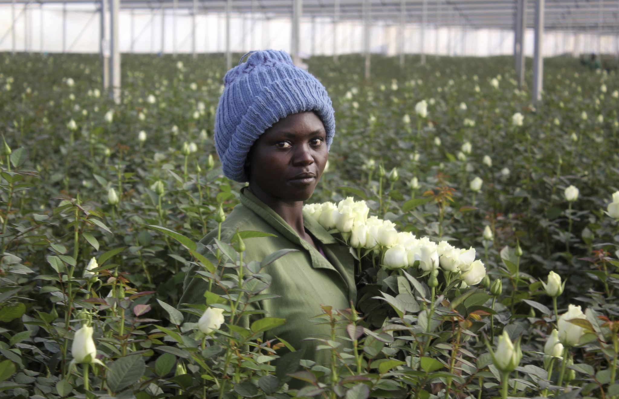 Those Valentine S Day Flowers Might Just Be From Kenya Chicago Tribune