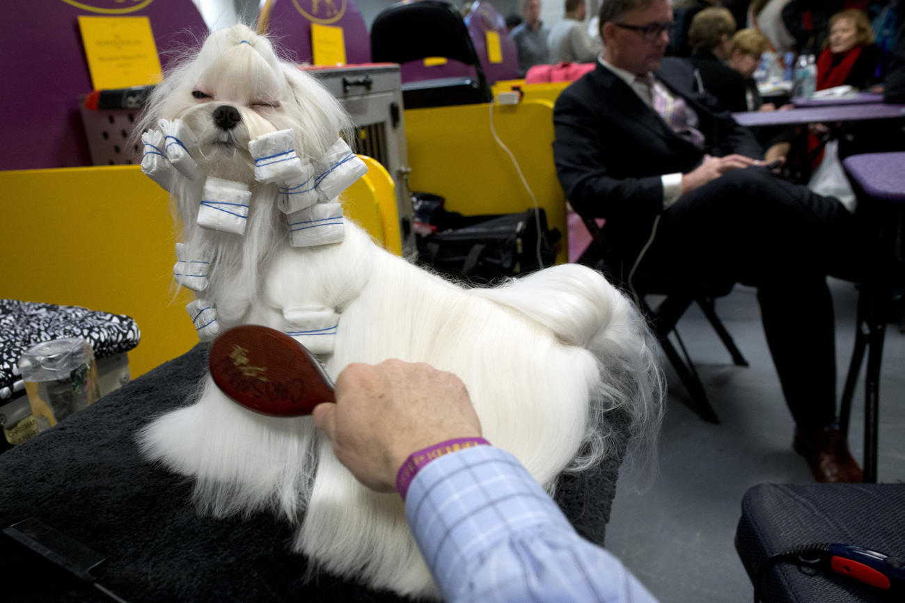 140th westminster kennel club dog show los angeles times
