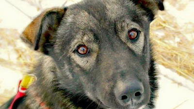 Nash, former Iditarod champion Jeff King's sled dog killed by a snowmobile