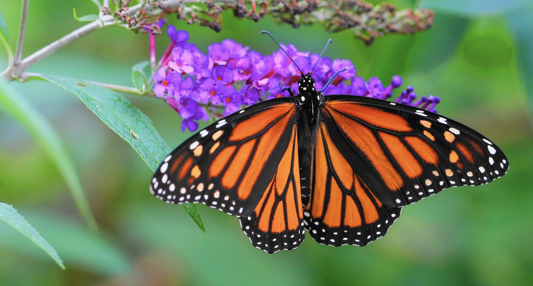 helping monarch butterflies rule chicago tribune