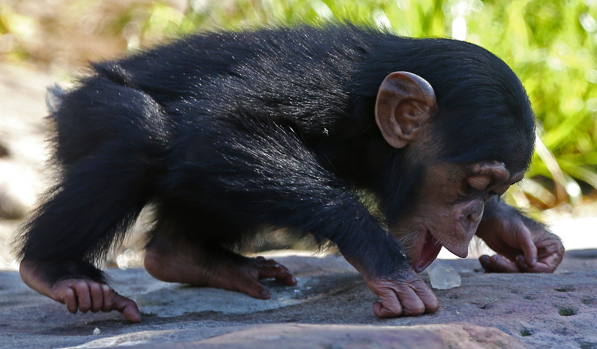 study chimps stone mounds a sign of sacred ritual daily press