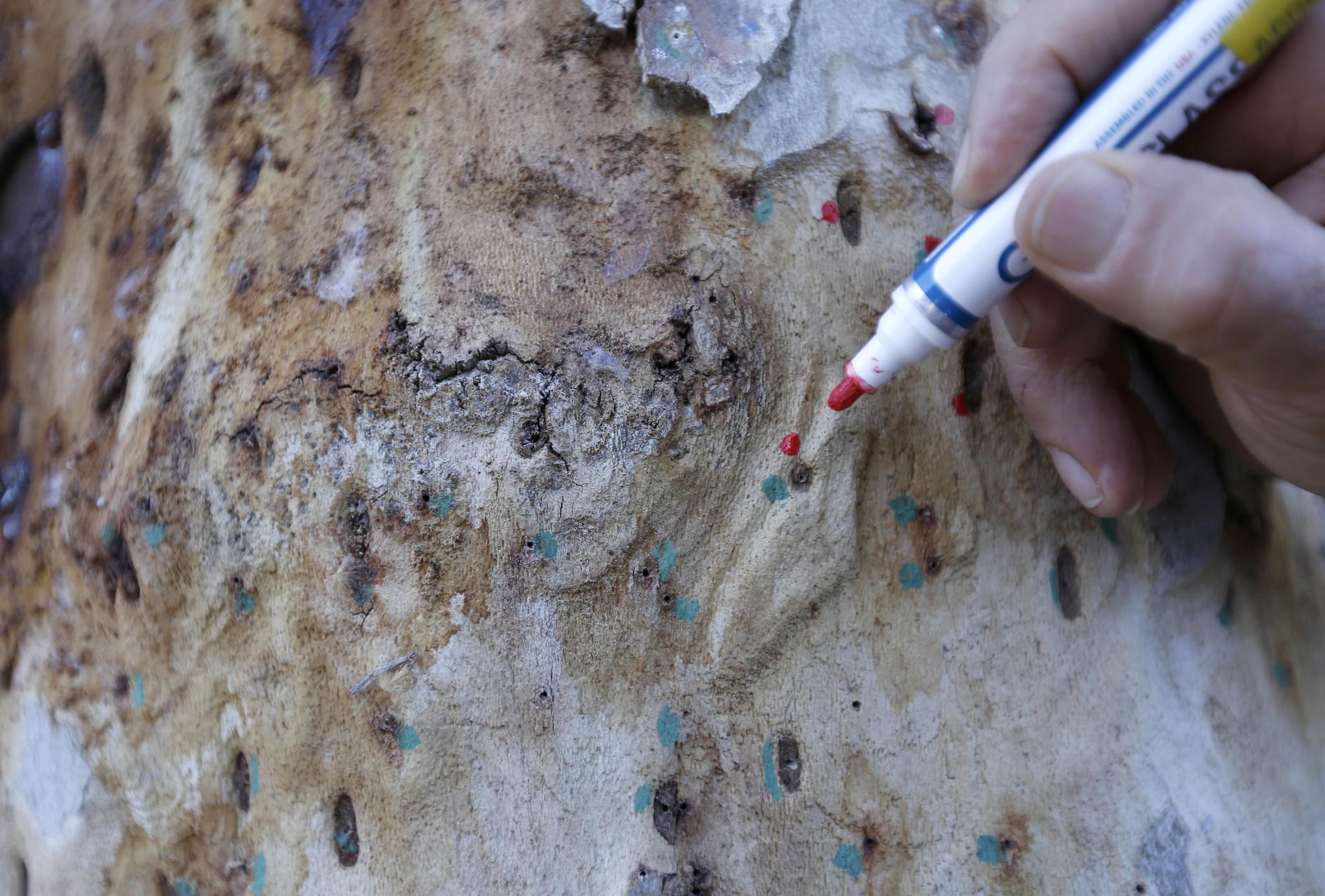 Akif Eskalen marks the beetles' entry points.