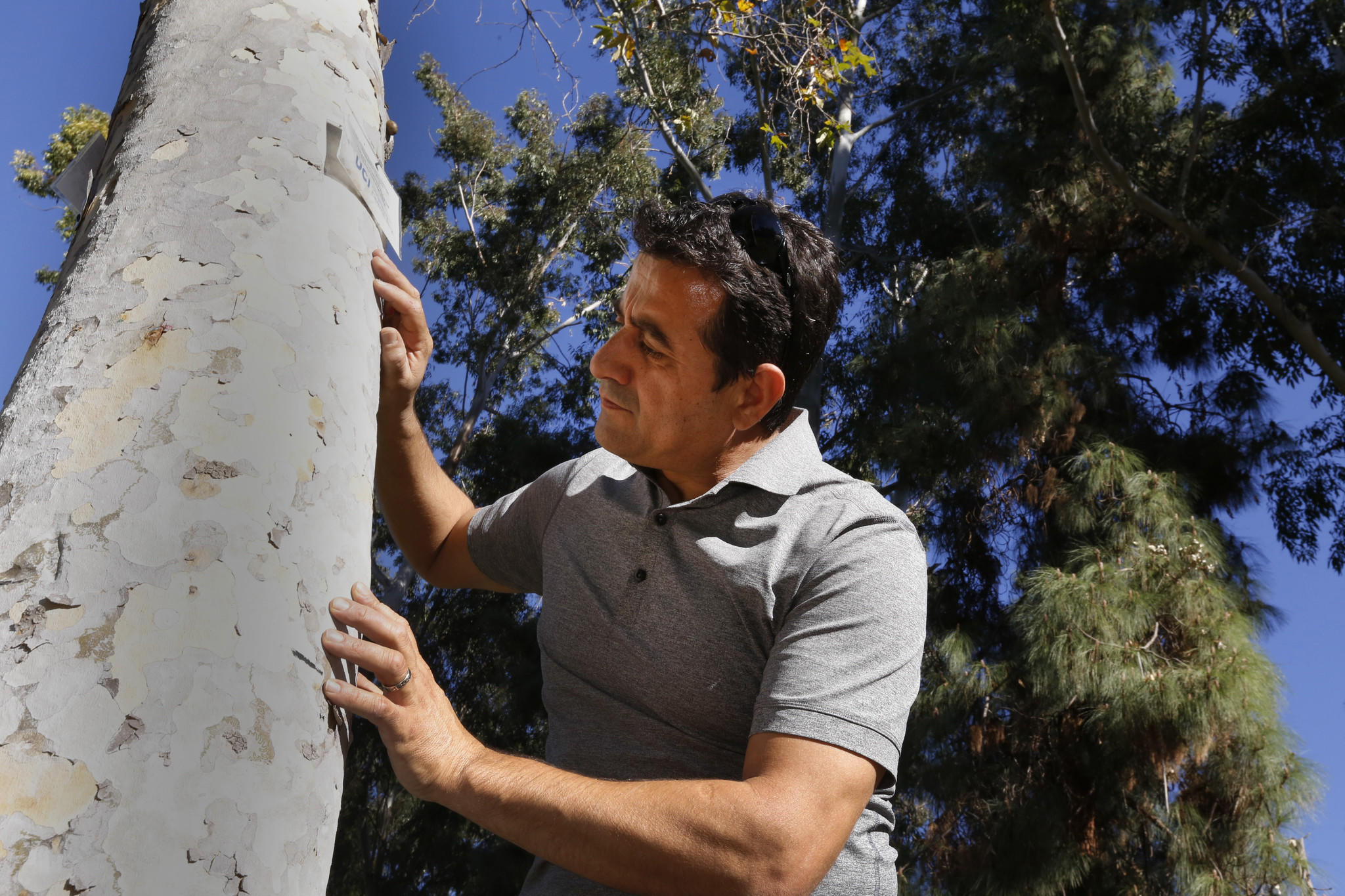 Dr. Akif Eskalen inspects an infected California Sycamore at UCI in January.