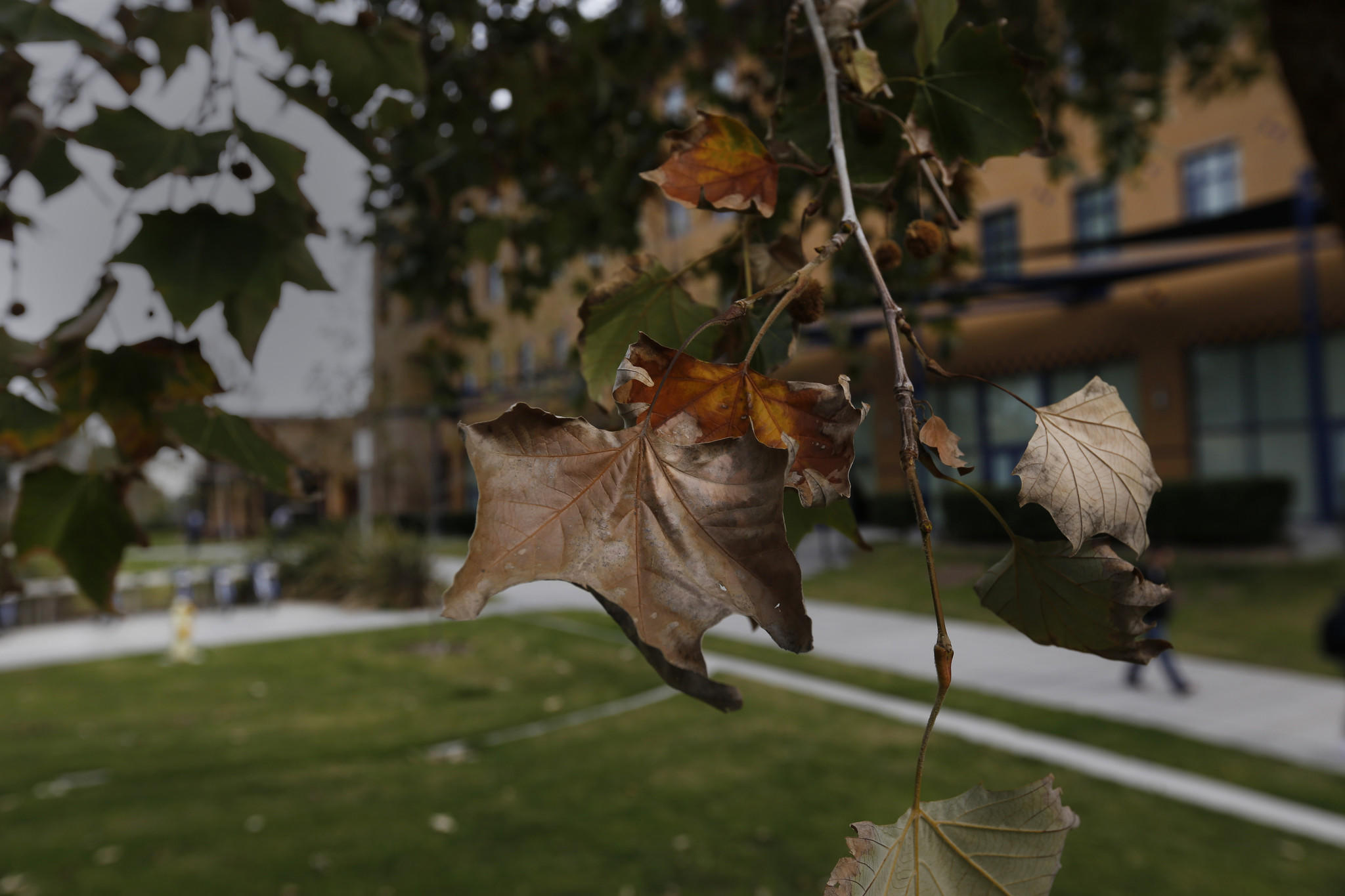 The dying leaves of an infested tree at UCI.