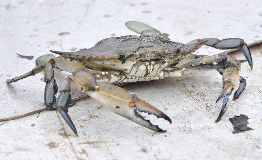Chesapeake blue crab population grows 35 percent