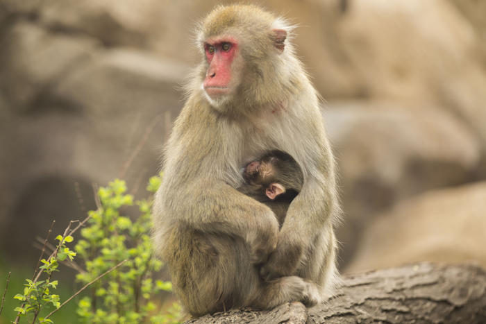 Macaque baby and mother Ono