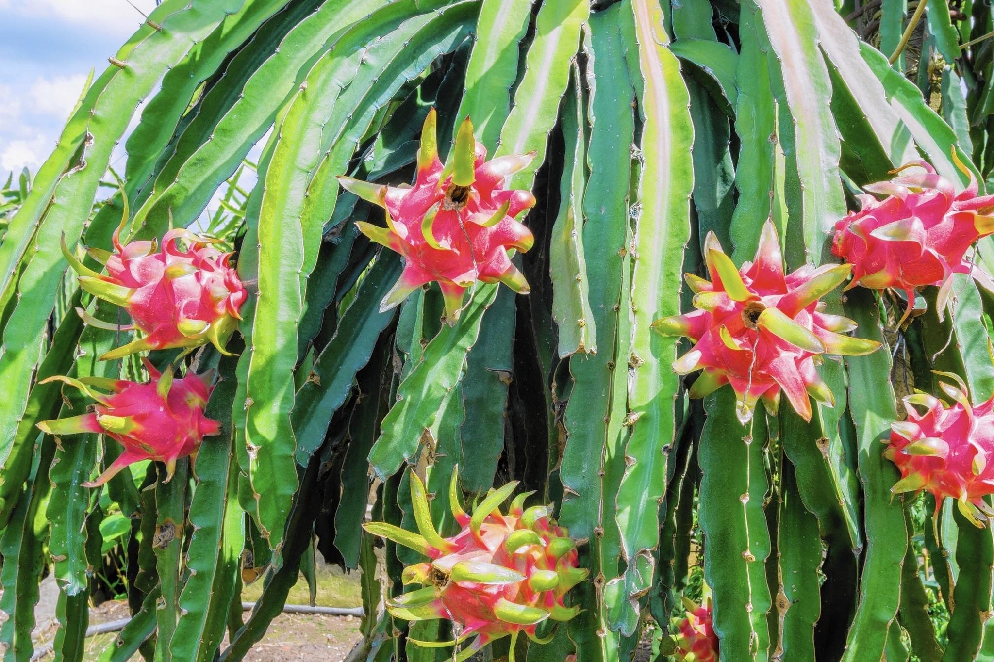 Dragon Fruit Florida
