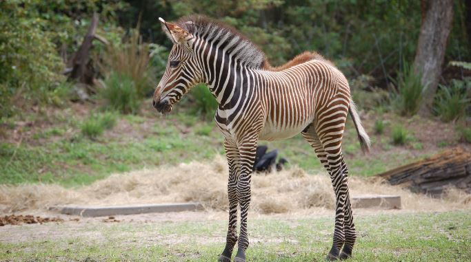 Two Zebras Join The Crowd At Disney S Animal Kingdom