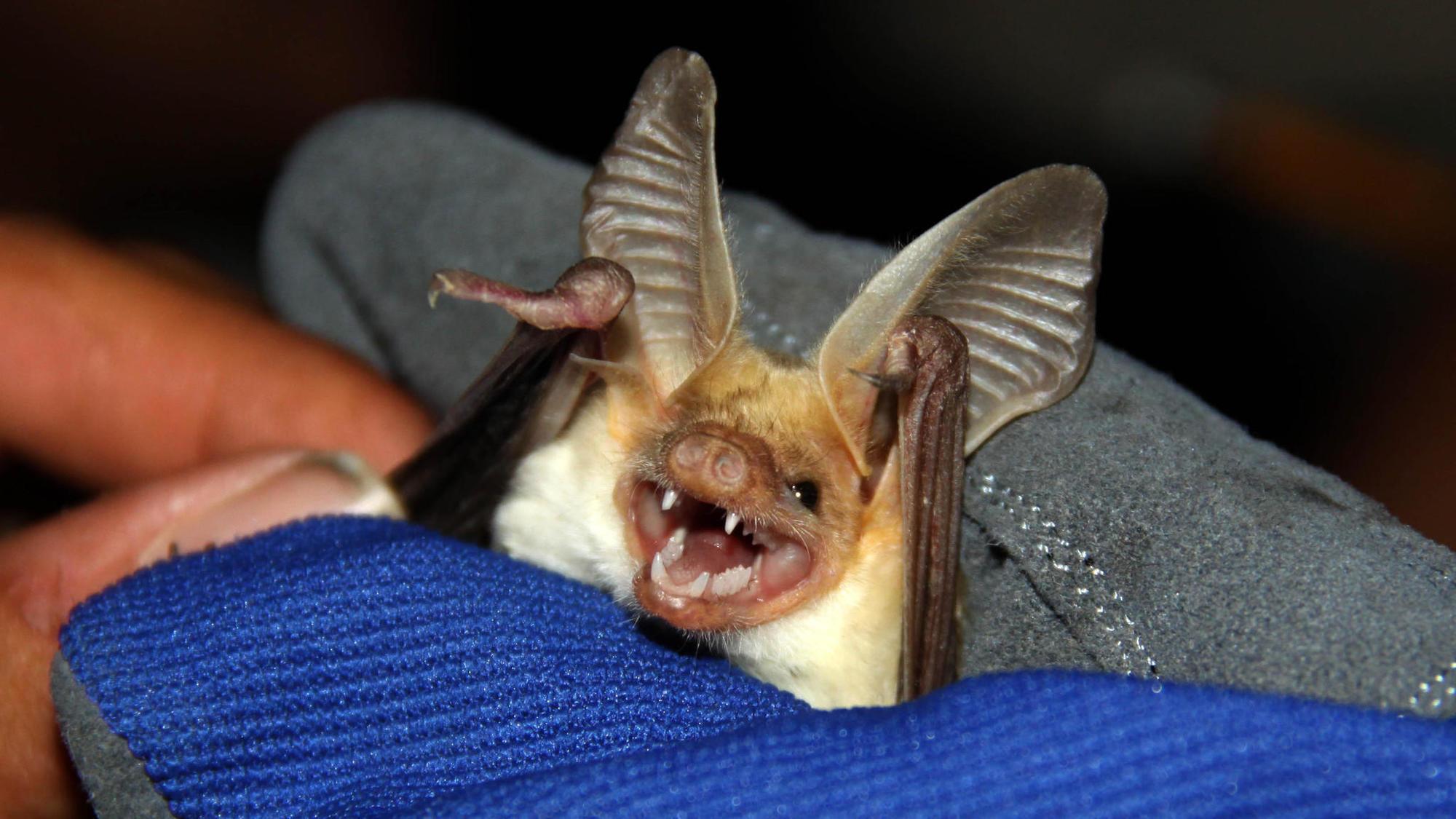 Noises Bats Make