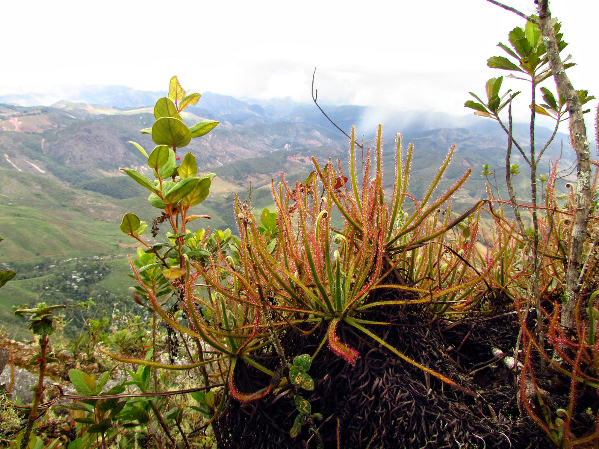 The carniverous giant sundew with other plants in Brazil.