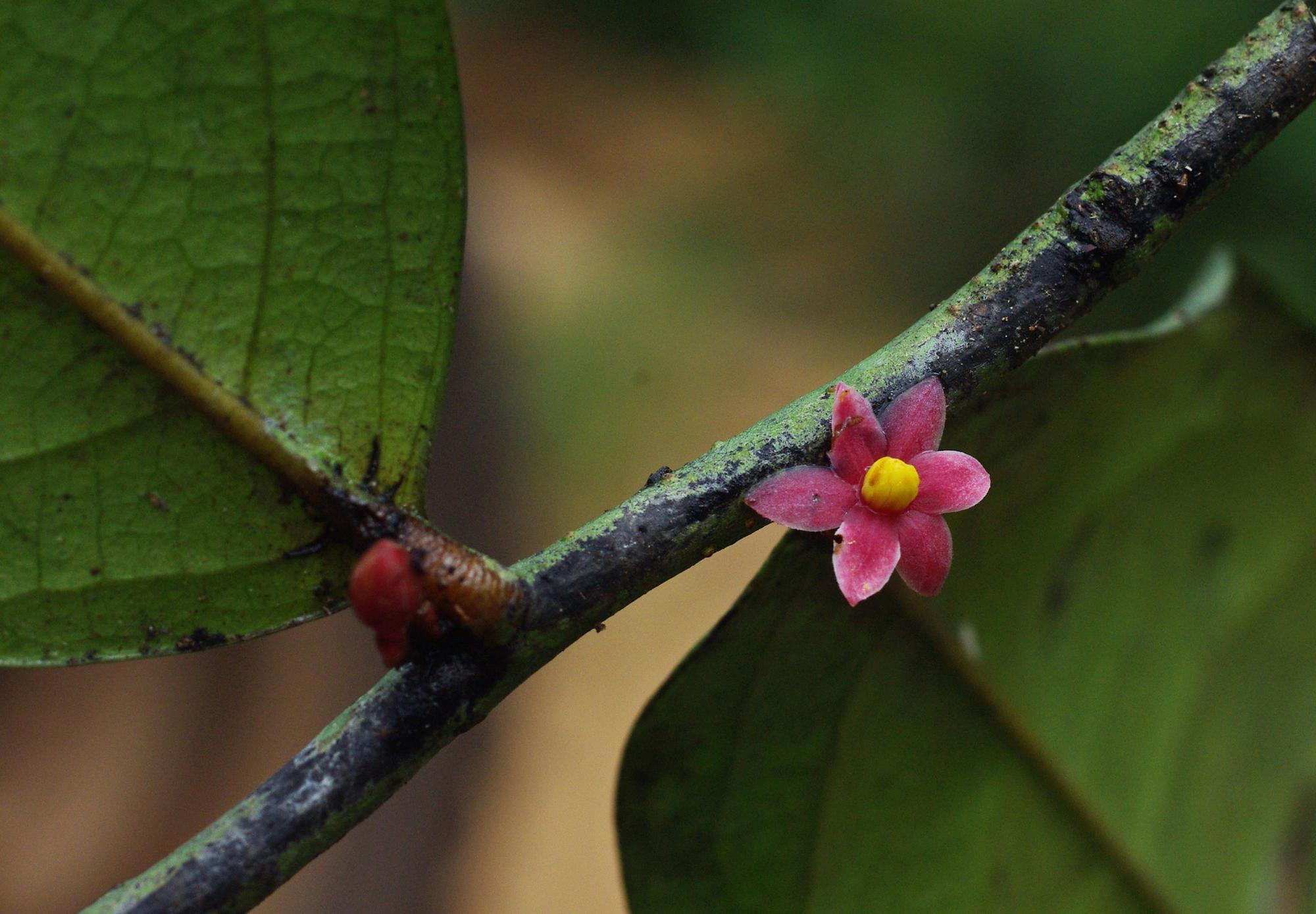 Sirdavidia solannona flower