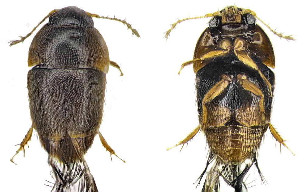 Featherwing beetles