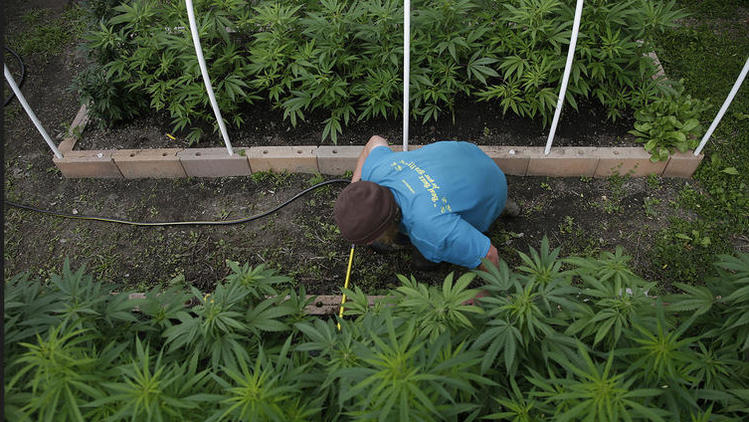 Pot growers in California's North Coast