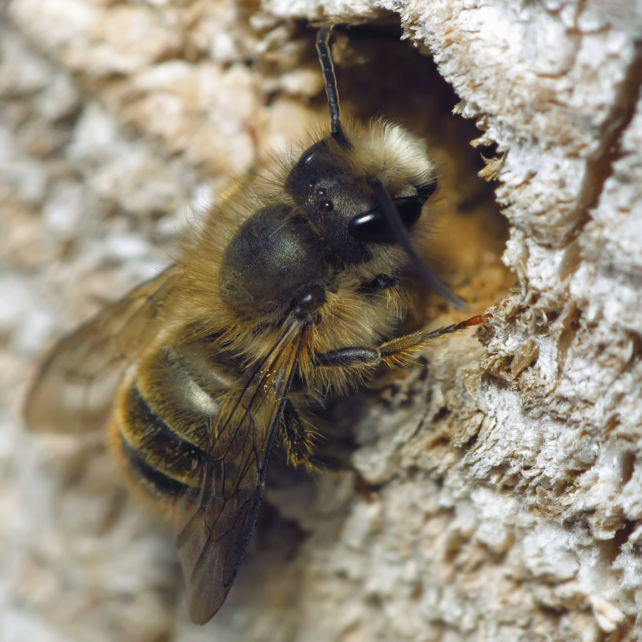 Garden Q Amp A Mason Bees Are Important Pollinators