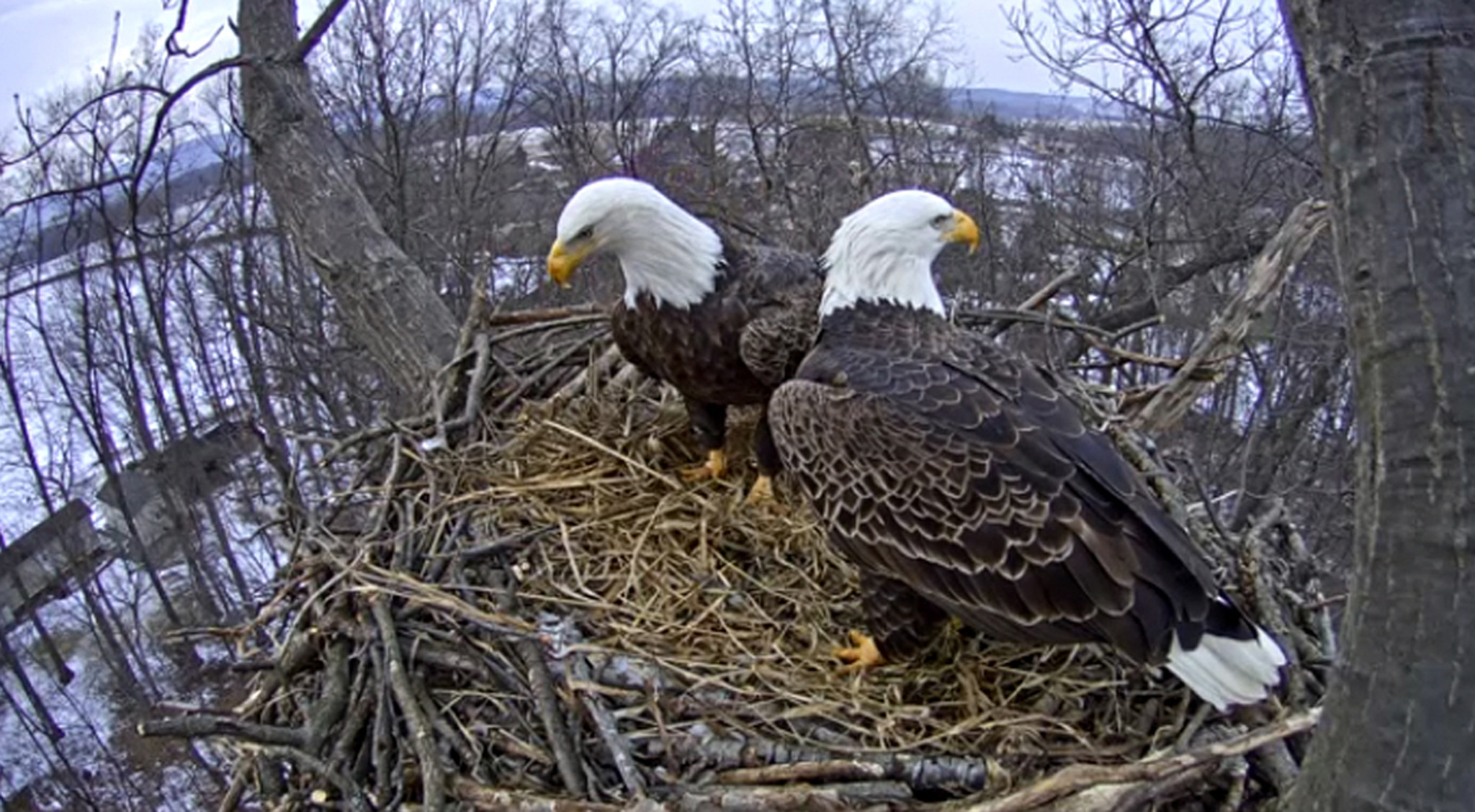 Hanover eagle nest partially collapses ahead of cam ...