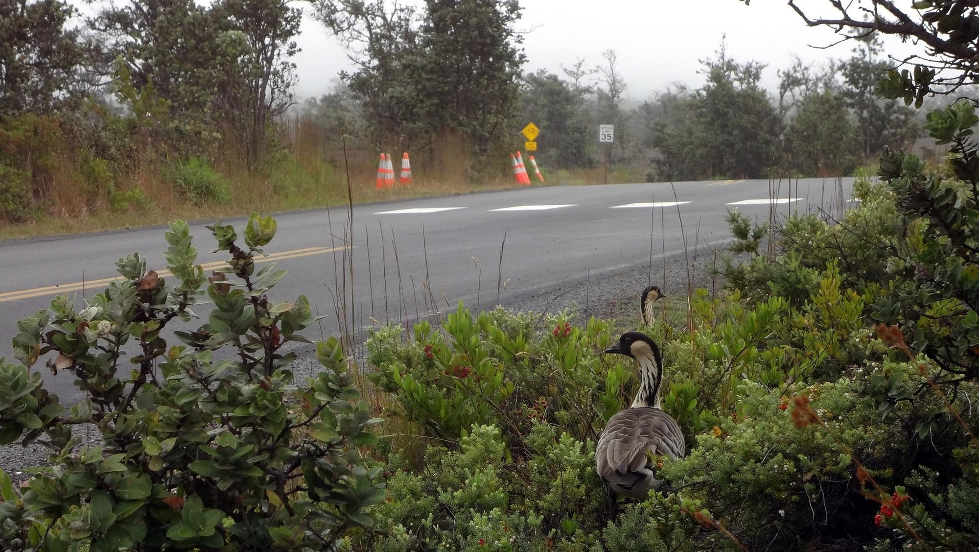 Two adult nene can be seen in underbrush near Crater Rim Drive in Hawaii Volcanoes National Park.