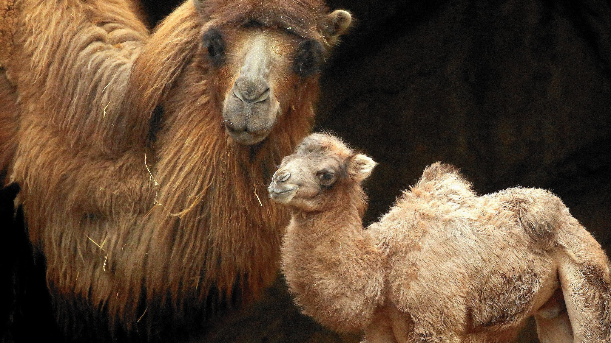 Lincoln Park Zoo Camel Named After Hamilton Musical