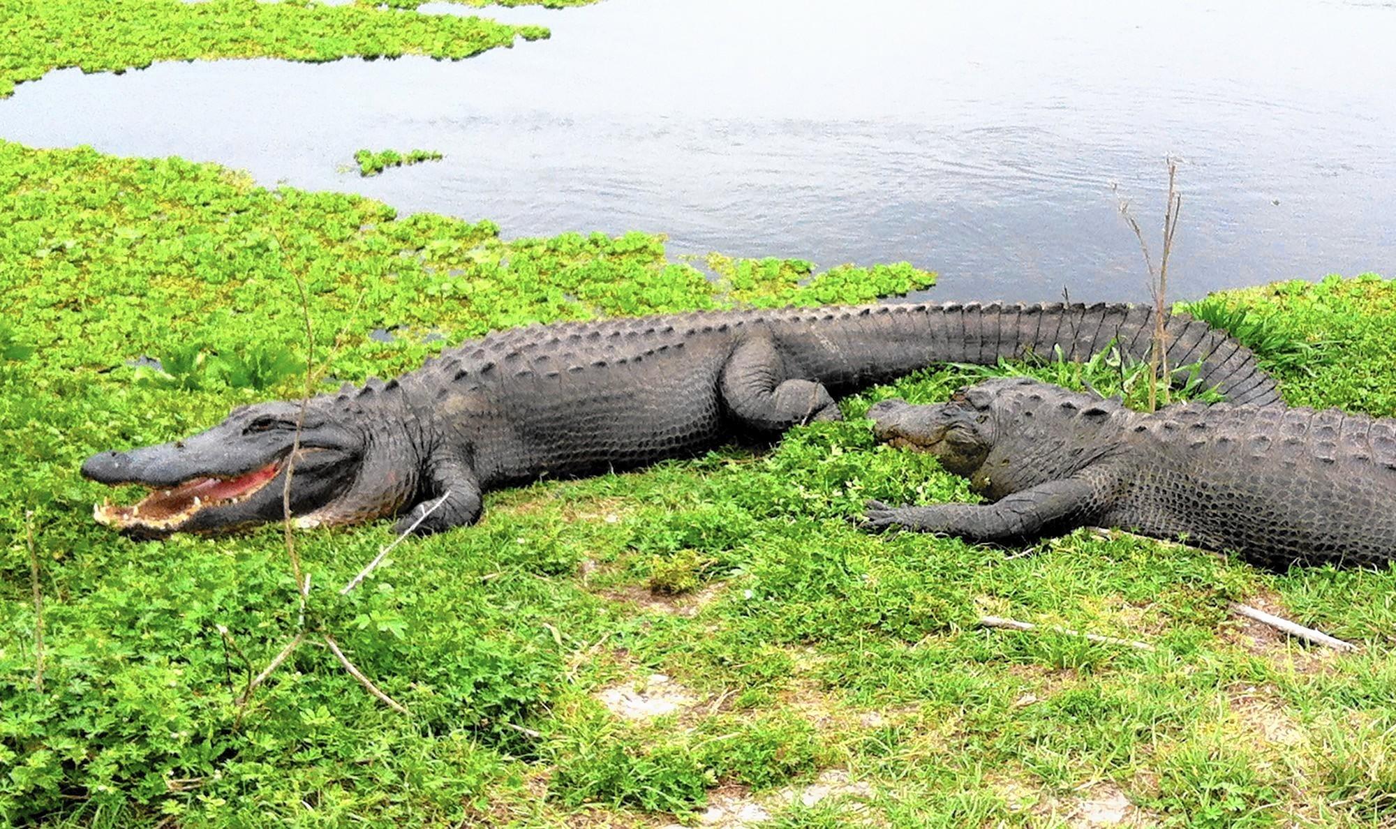 Alligators Are No Joke In Florida Sun Sentinel