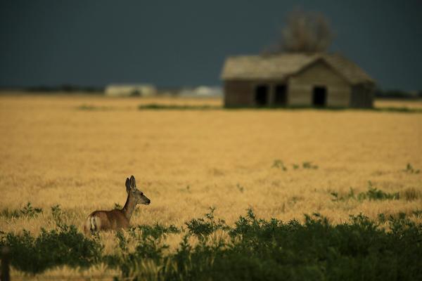 A deer looks across a field near Eads, Colo.