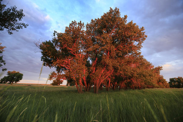 Cottonwood trees glow red at sunrise.