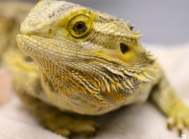 Leaping lizards! Pet store mistakenly sold man's beloved bearded