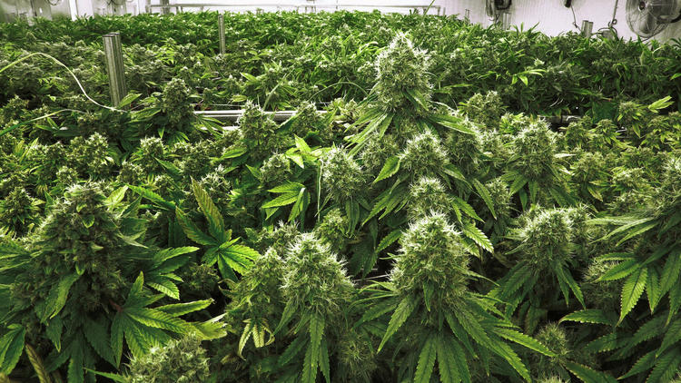 Marijuana plants weeks away from harvesting.