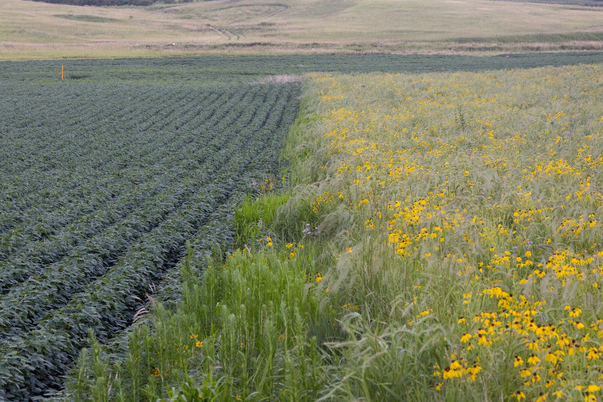 Iowa Farmers Ripped Out Prairie Now Some Hope It Can Save