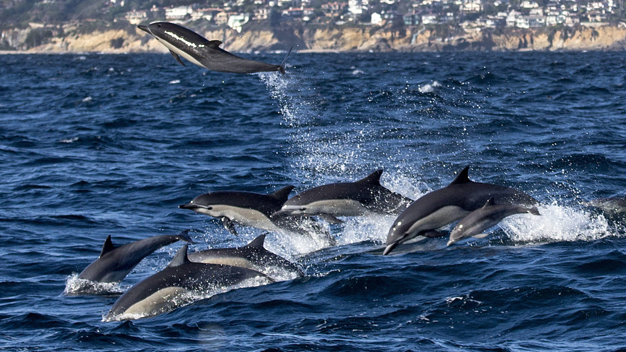 A pod of dolphins leaps out of the water with a view of south Laguna Beach in the background on Aug. 12, 2016. (Allen J. Schaben / Los Angeles Times)