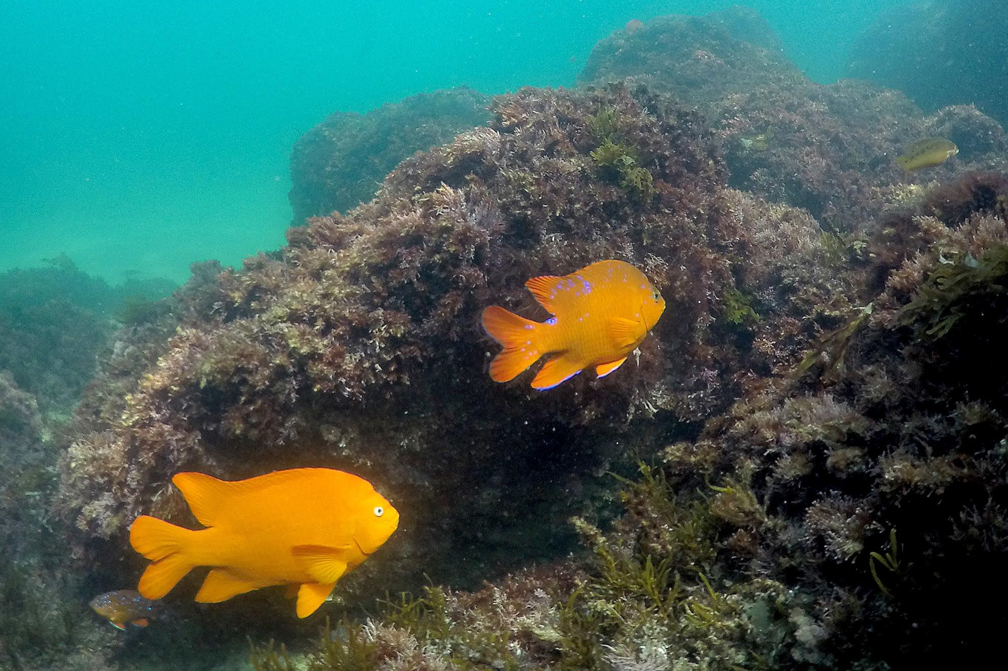 Garibaldi swim and feed on rocks at Crescent Bay in Laguna Beach. (Allen J. Schaben / Los Angeles Times)