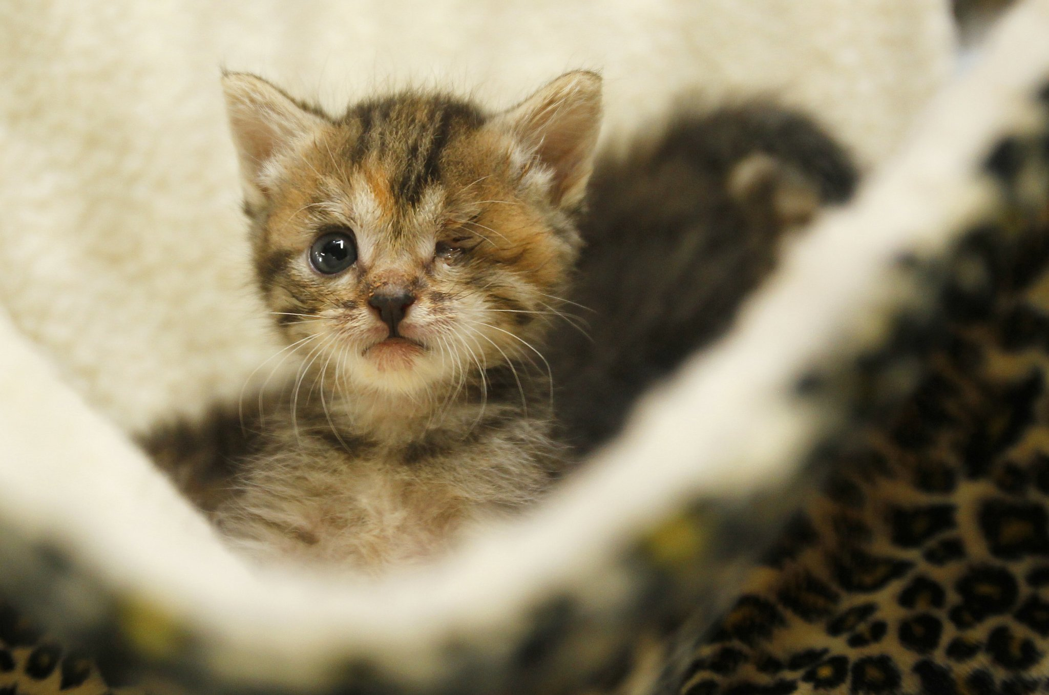 Kitten Nursery At The An Go Humane Society Photos San Union Tribune