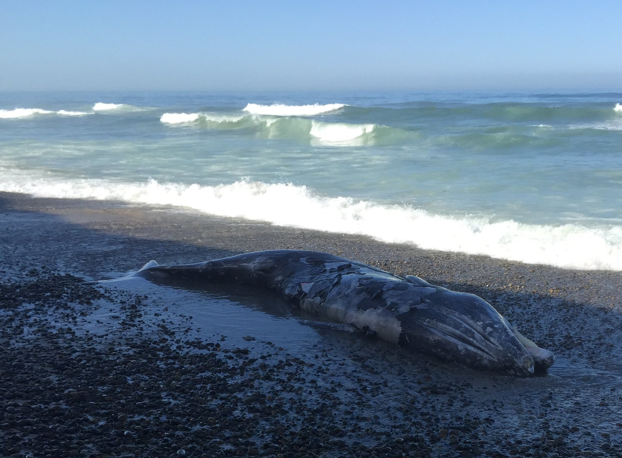 Dead Whale Washes As At Torrey Pines State Beach The San Go Union Tribune