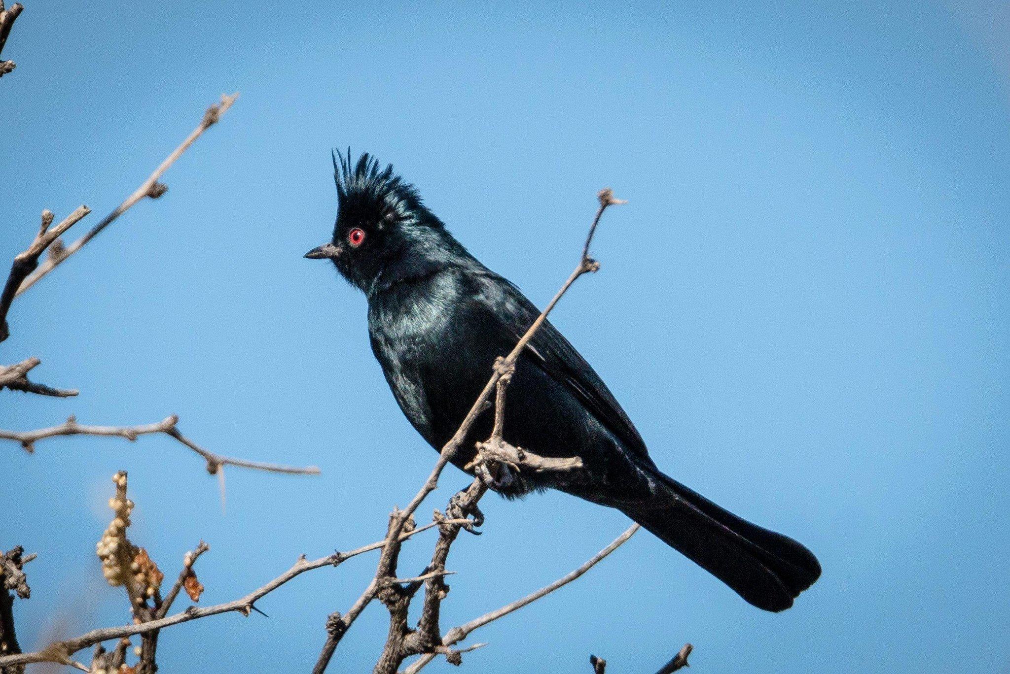 Black Cardinals Are Busy Little Birds The San Diego Union Tribune